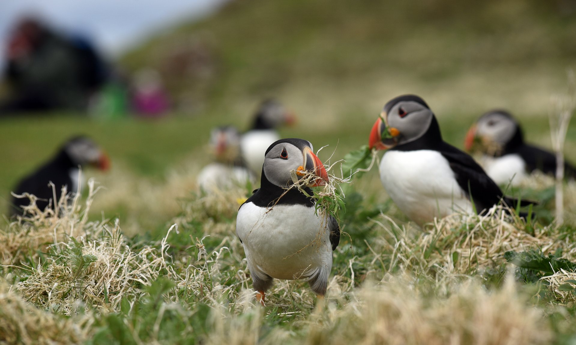Puffins credit Clare Kendall