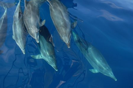 Dolphins - taken from bow