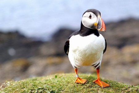 Puffin on a rock