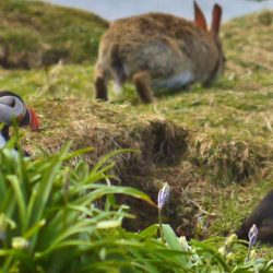 Puffins and a rabbit