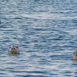 Seal heads in water