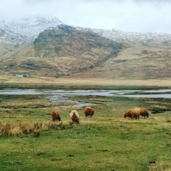 cows in the Scottish highlands