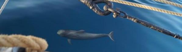 Dolphin sailing next to Bessie Ellen