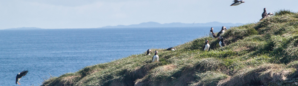 Puffins in the eastern Scottish isles