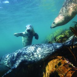 Scilly seals