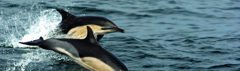 Common dolphins off Scilly