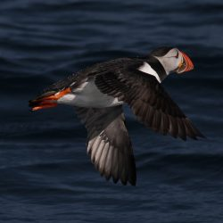 Scilly puffins