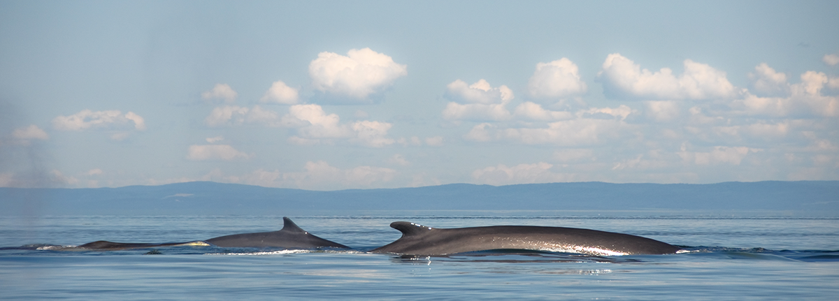 Minke whales in Scotland surfacing