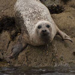 seal lying on the rocks in Scotland