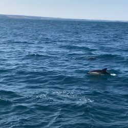 dolphins in the water near Falmouth